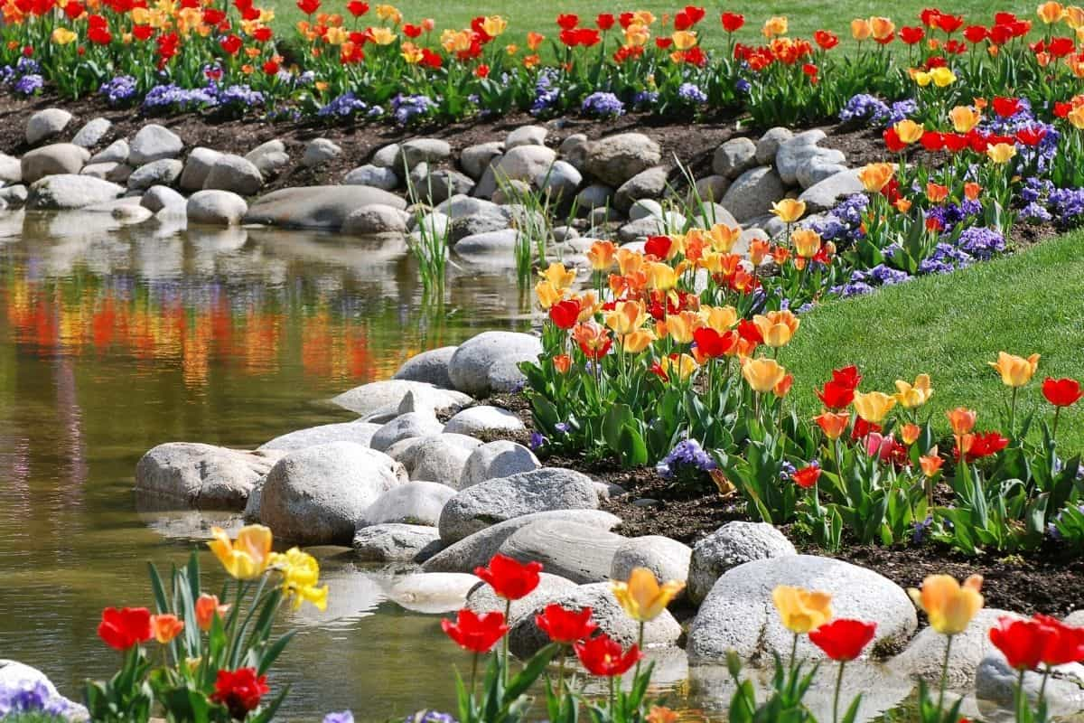 rocks and tulips bordering a pond