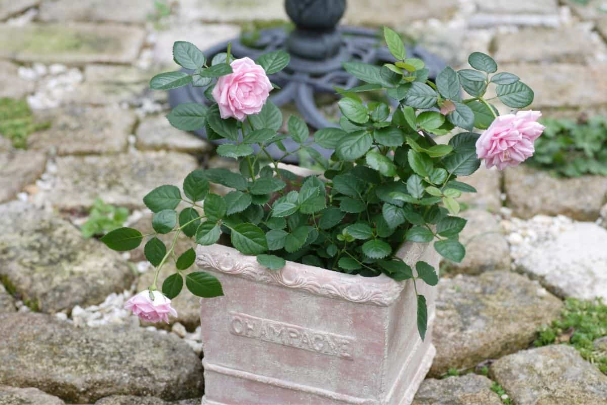 pink roses in ceramic container