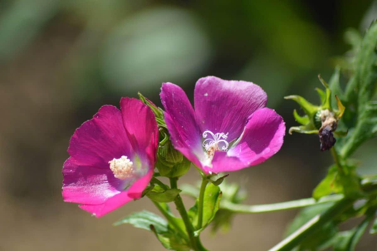 purplr poppy mallow