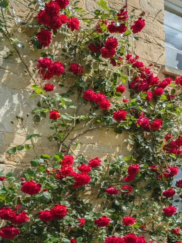 red roses growing up a wall