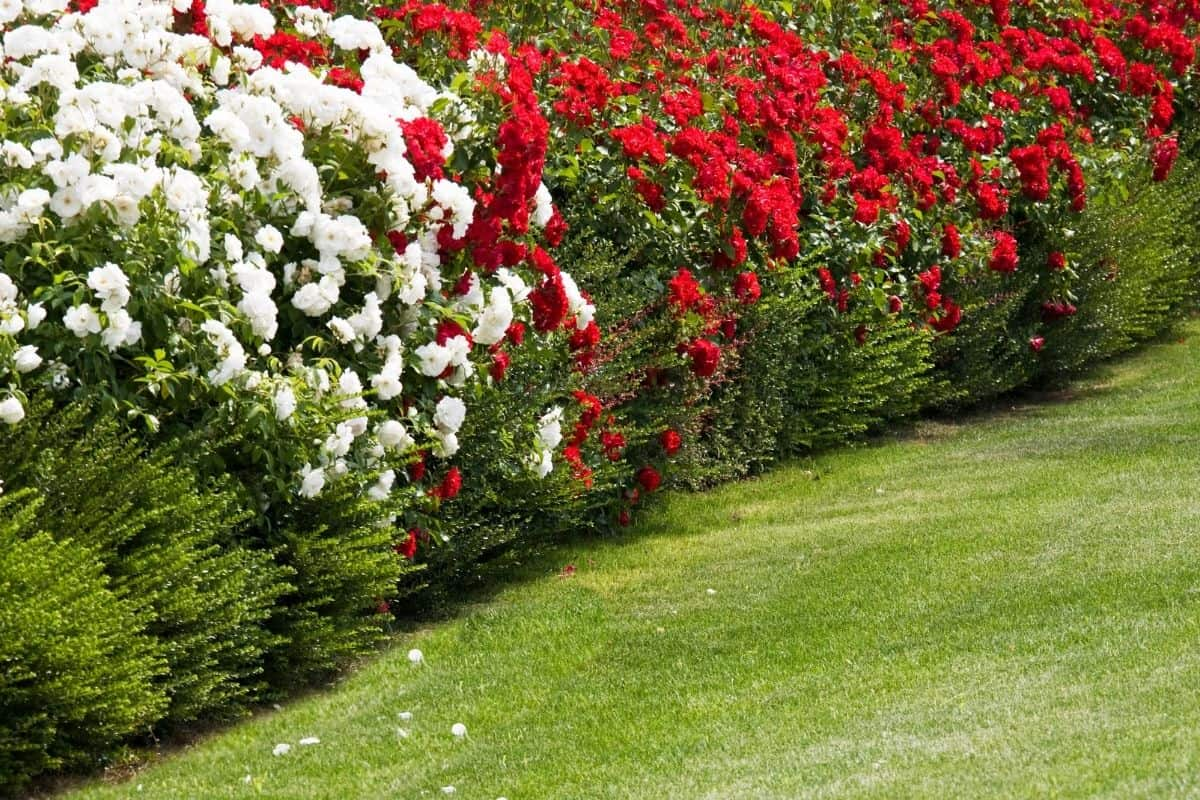 red and white rose hedge