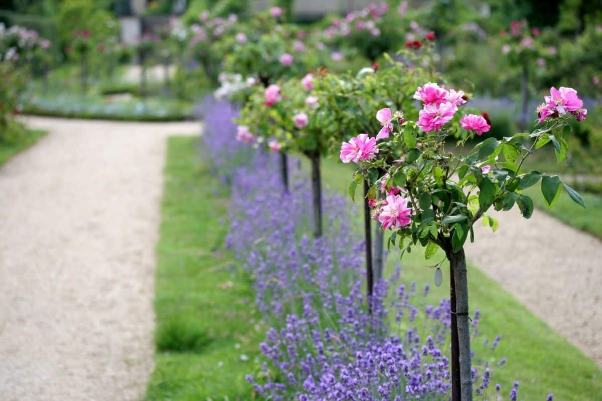 lavender combined with pink rose trees lining a pathway