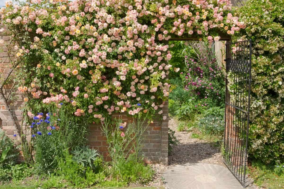 pink roses cascading over a wall