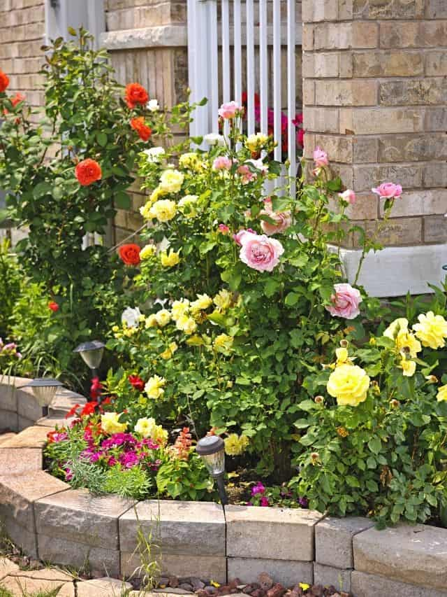 rose flower bed by the corner of the house