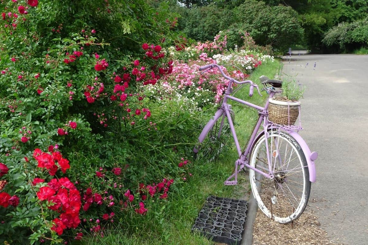driveway lined with roses