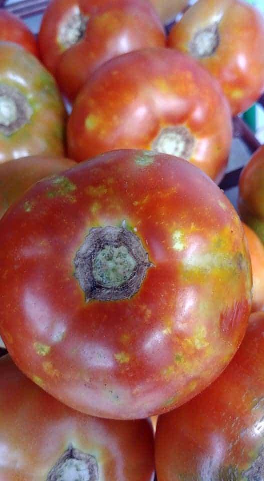 stink bug tomato damage