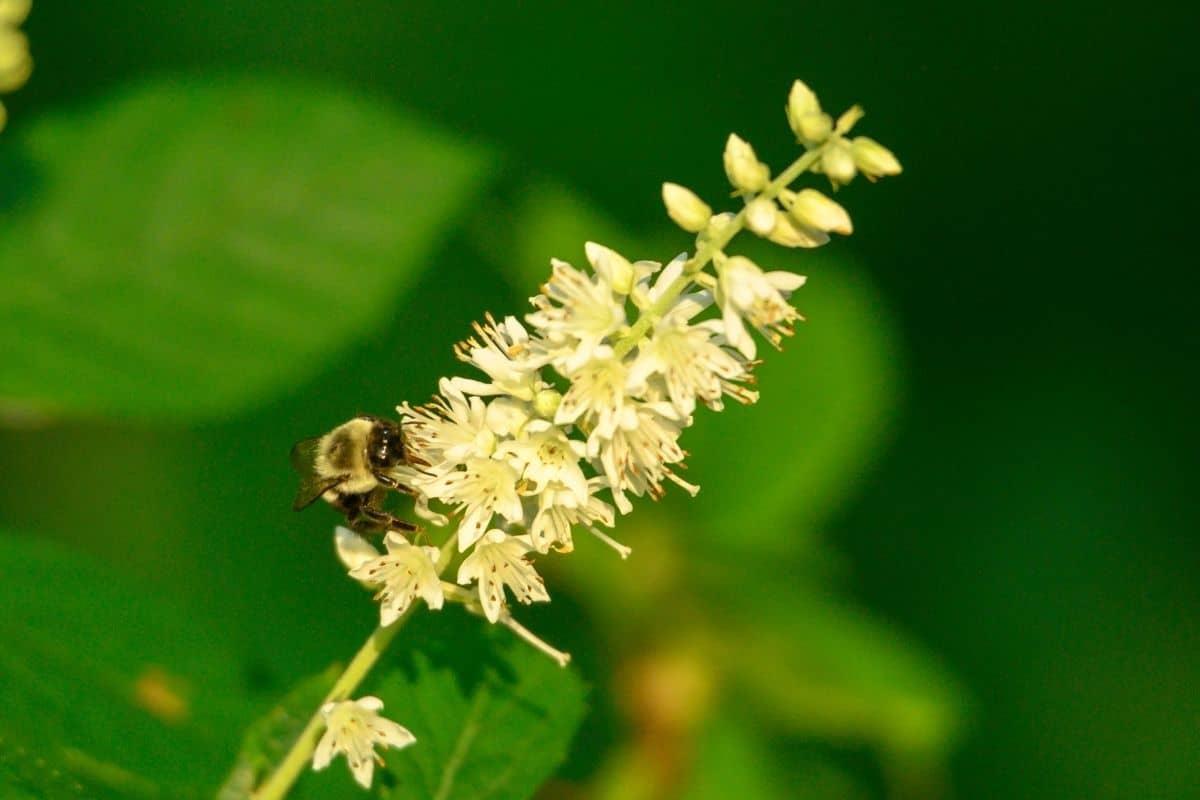 bee on summersweet flowers
