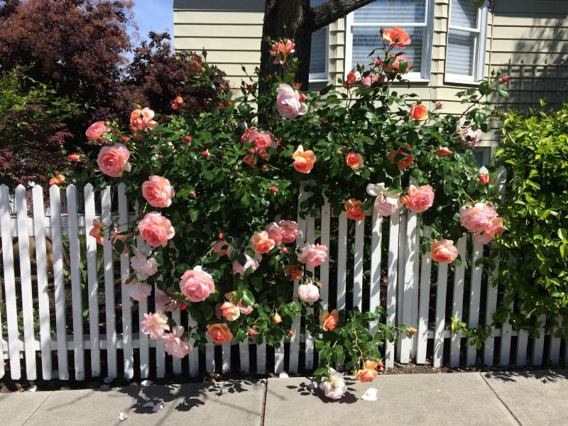 roses peeking from behind a white fence