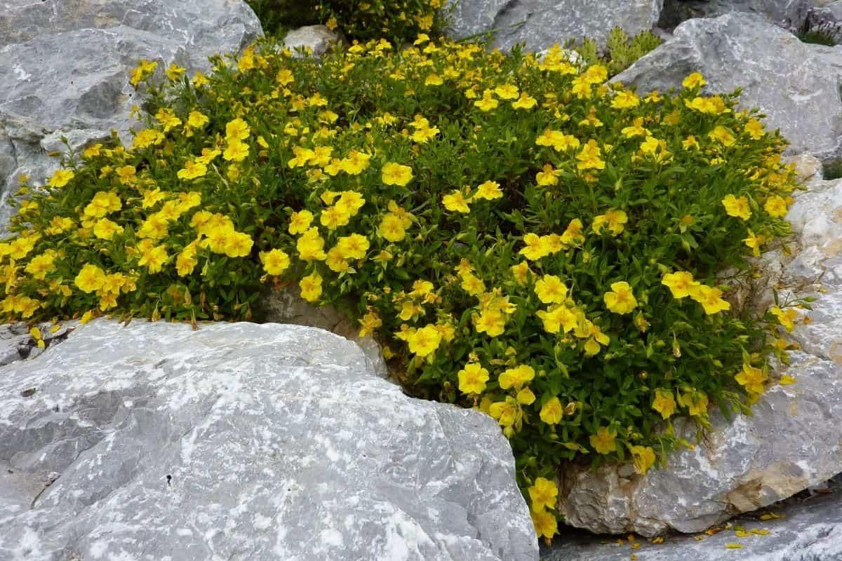 yellow flowers in rock garden