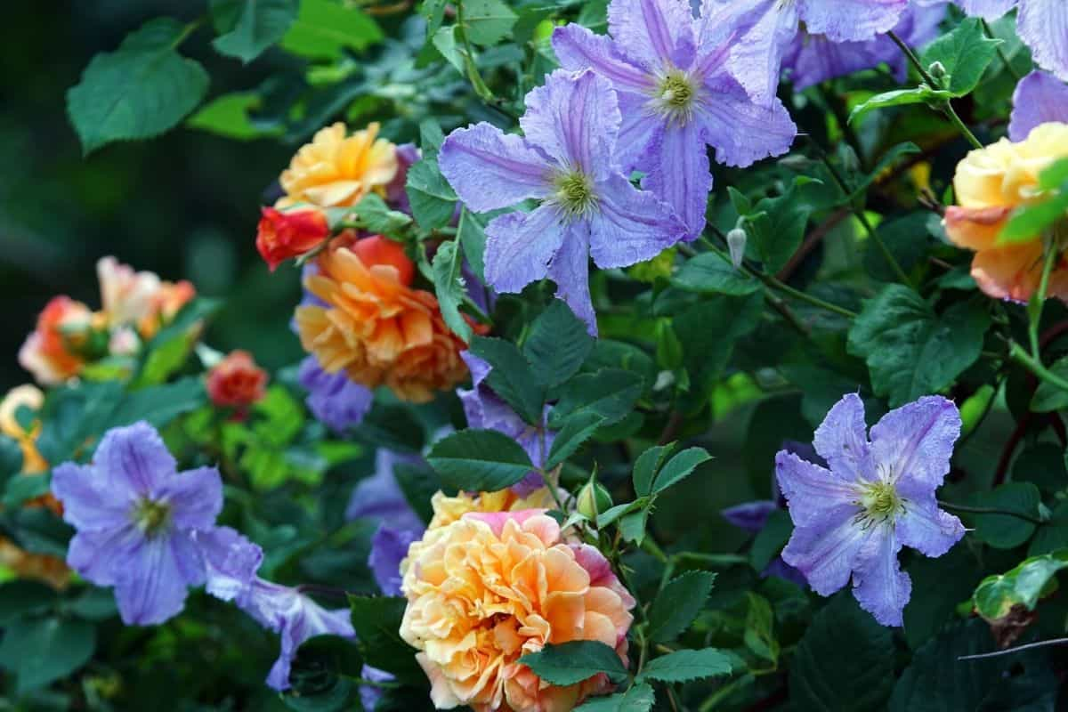 yellow roses mixed in with light blue clematis flowers