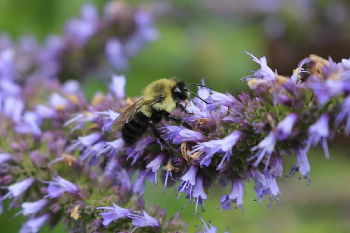 a bee on an anise hyssop flower