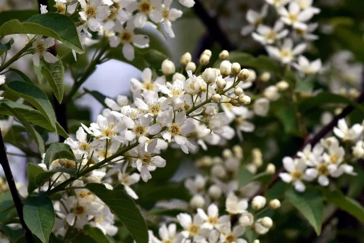 Chokecherry flowers