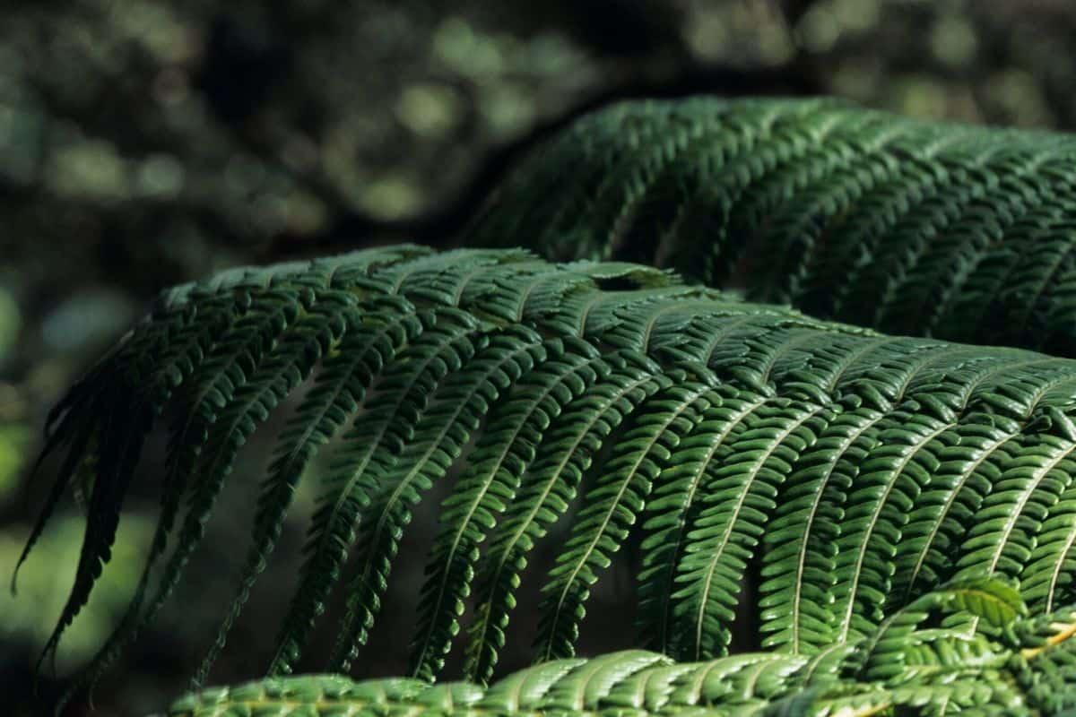 Cibotium spp. - tree fern