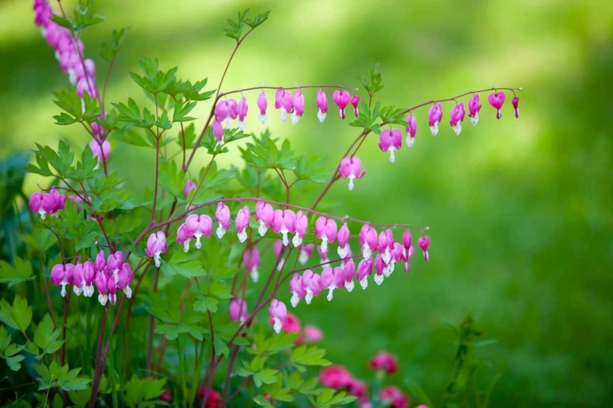 Dicentra formosa flowers
