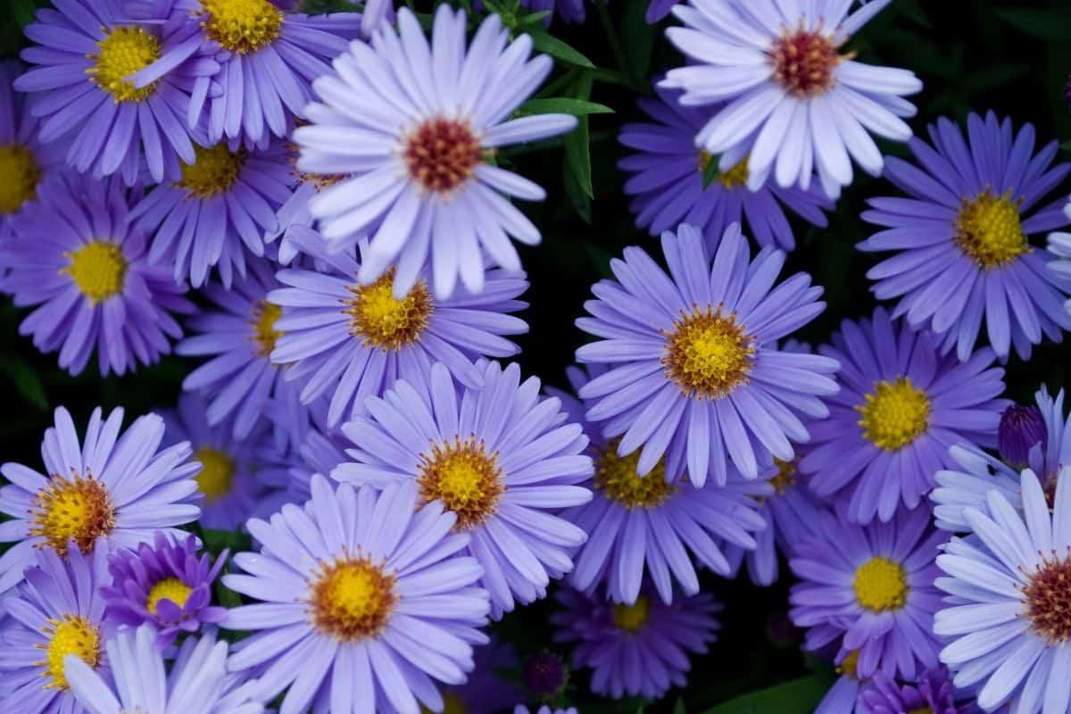 Kalimeris incisa flowers