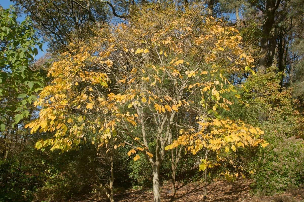 Kentucky yellowwood