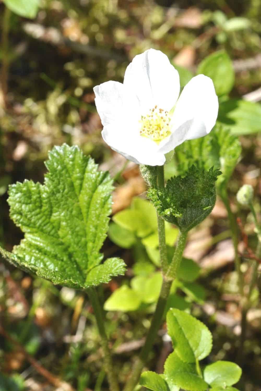 Oreobatus Rubus deliciosus