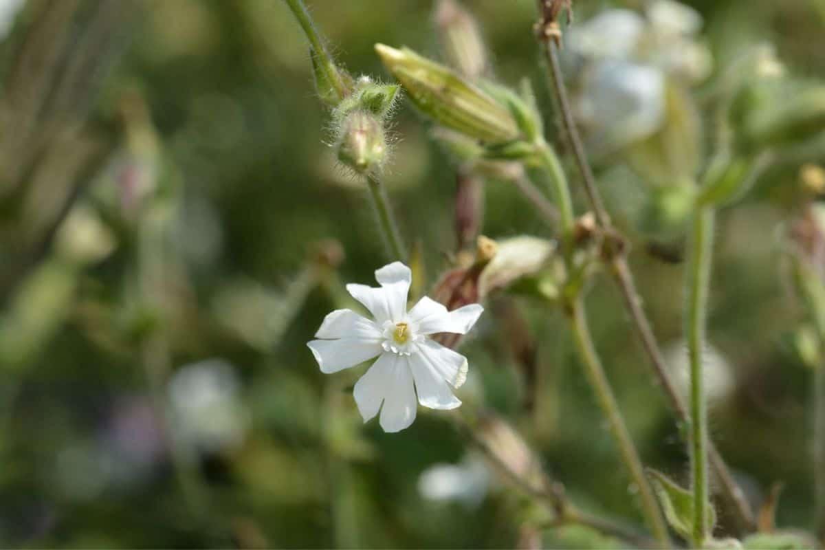 white starry campion flower