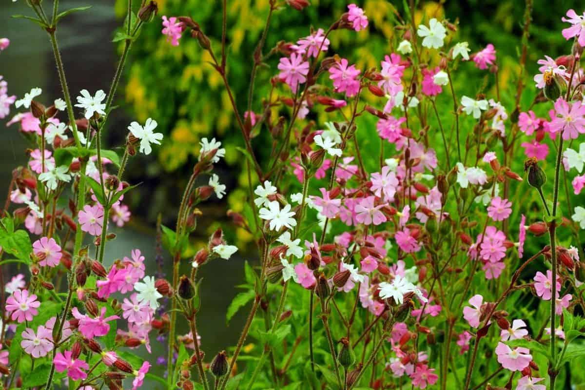 Starry Campion flowers