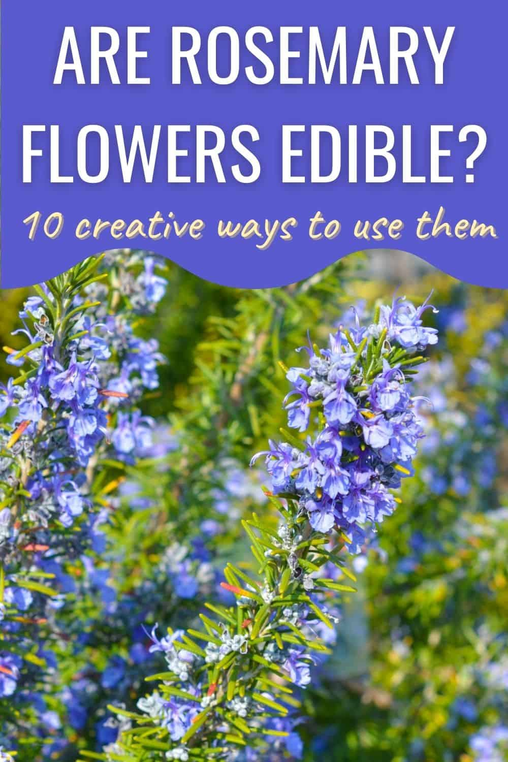 Are rosemary flowers edible? 10 creative ways to use them
