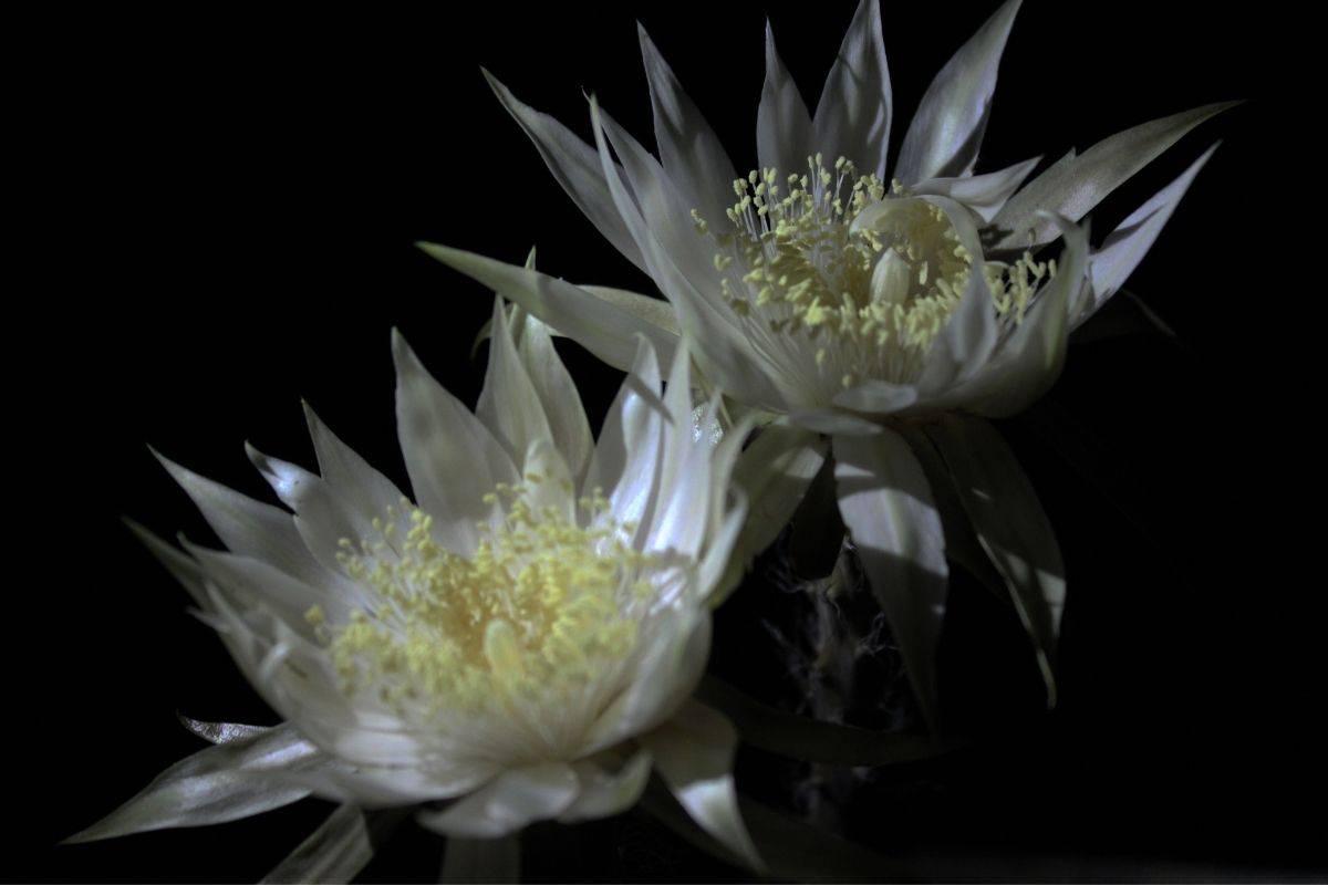 Arizona queen of the night flowers