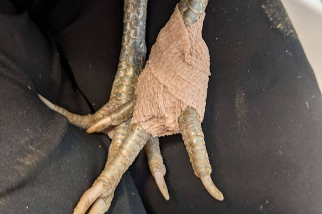 chicken foot bandaged after removing infection caused by bumblefoot