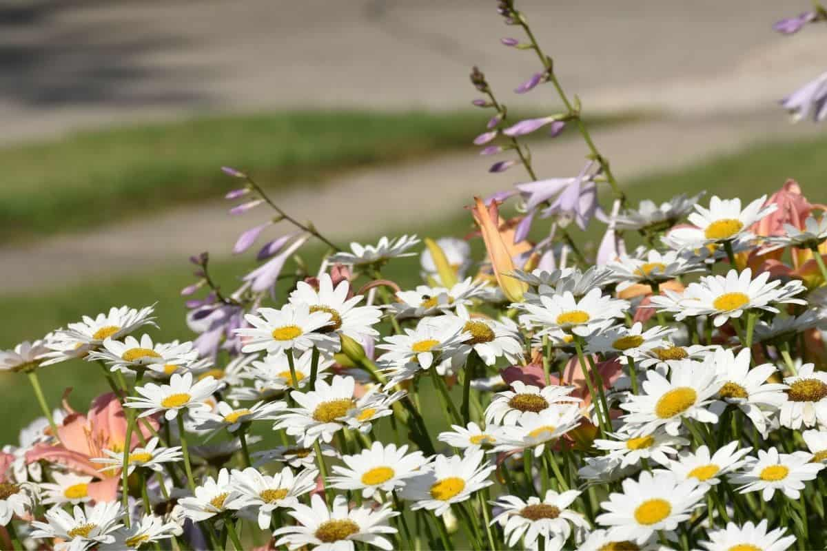 a border filled with shasta daisies