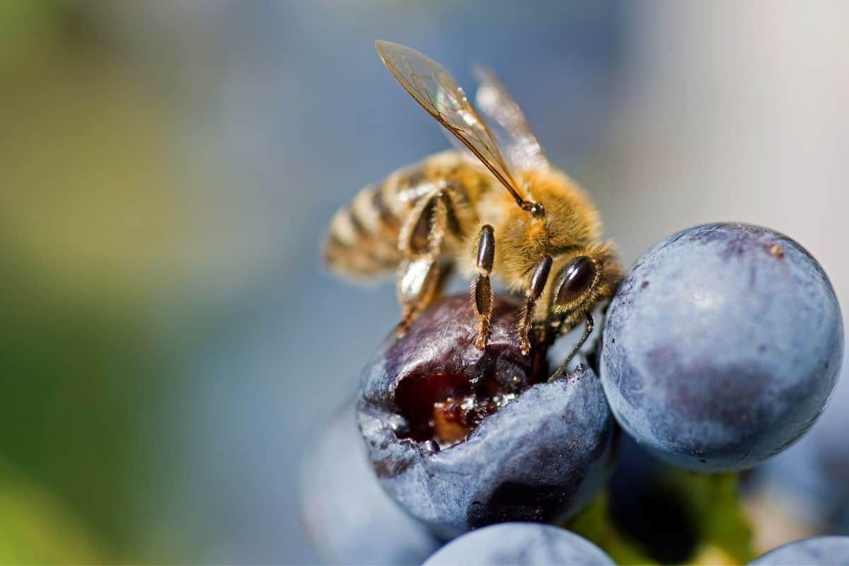 bee enjoying a blueberry
