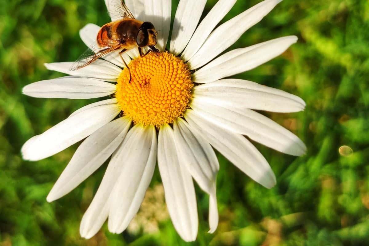 bee on a common daisy flower
