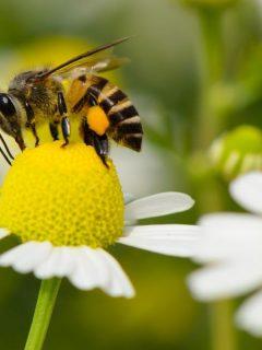 a bee enjoying a chamomile flower