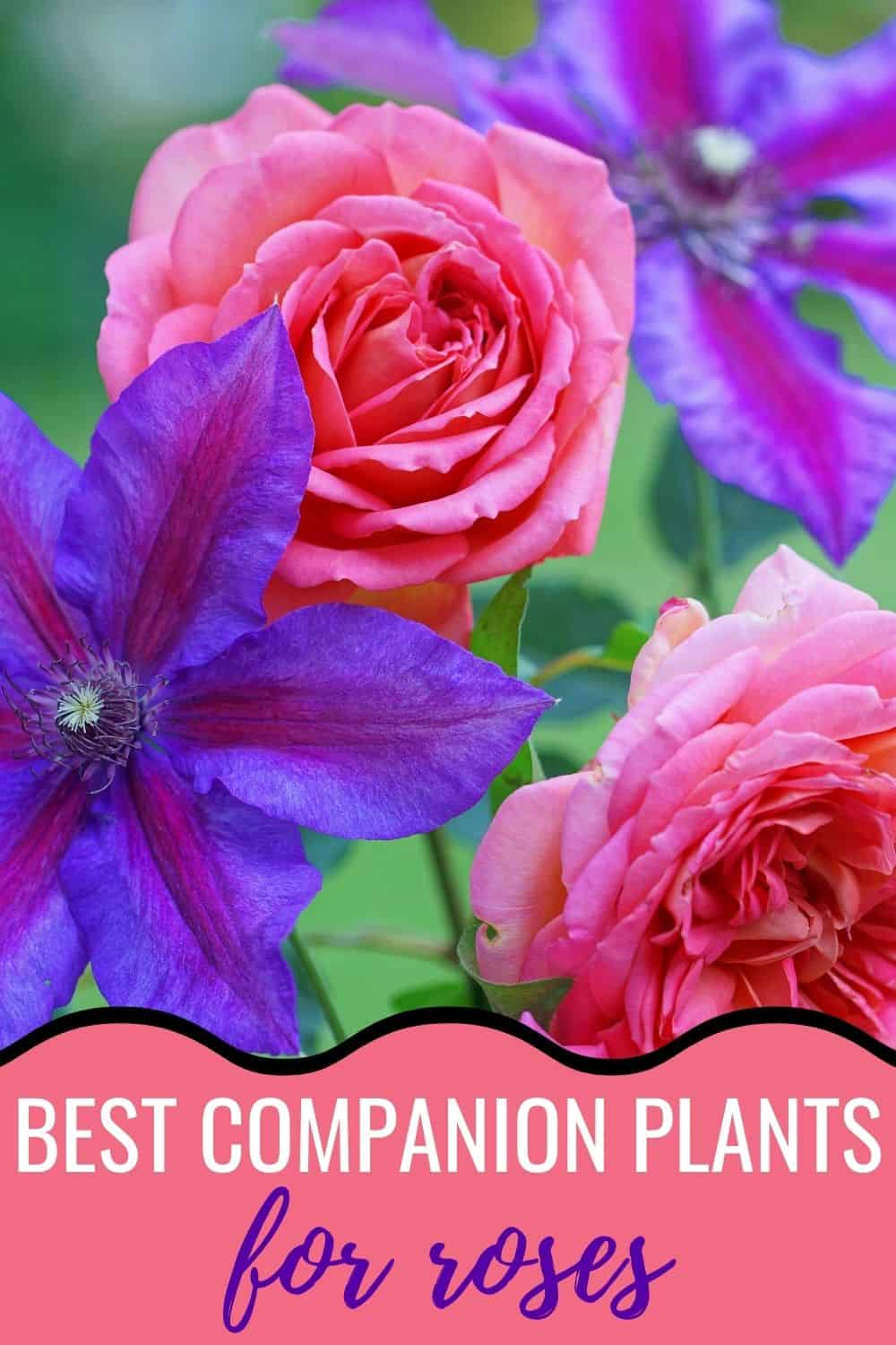 Best companion plants for roses