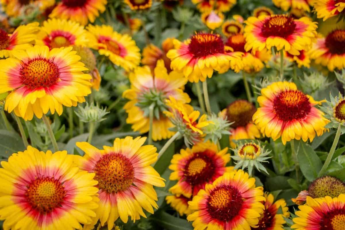 a bunch of beautufl blanket flowers
