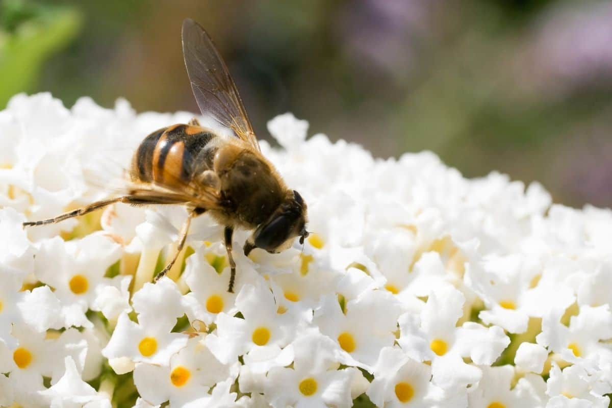 a bee on a white butterfly bush flower