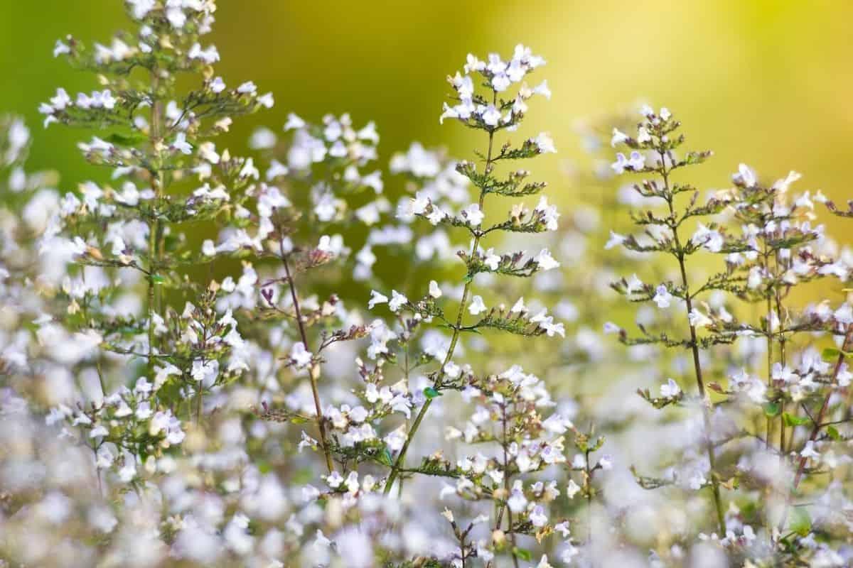 calamint flowers