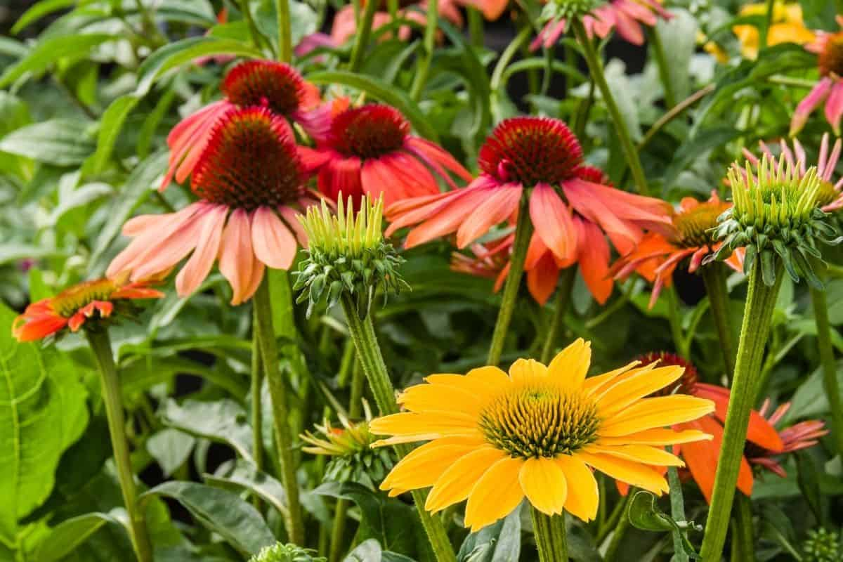 colorful echinacea flowers