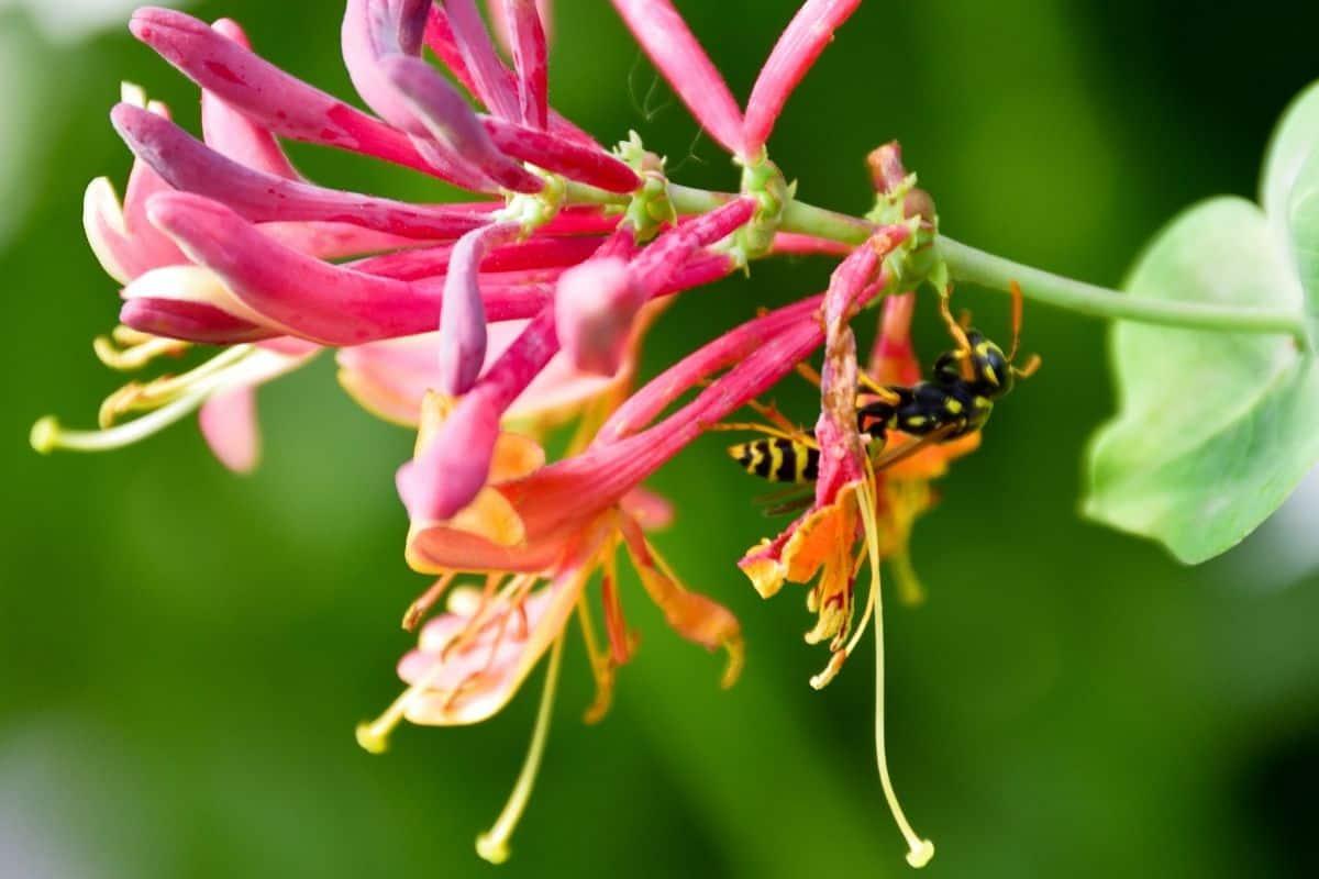 coral honeysuckle flowers