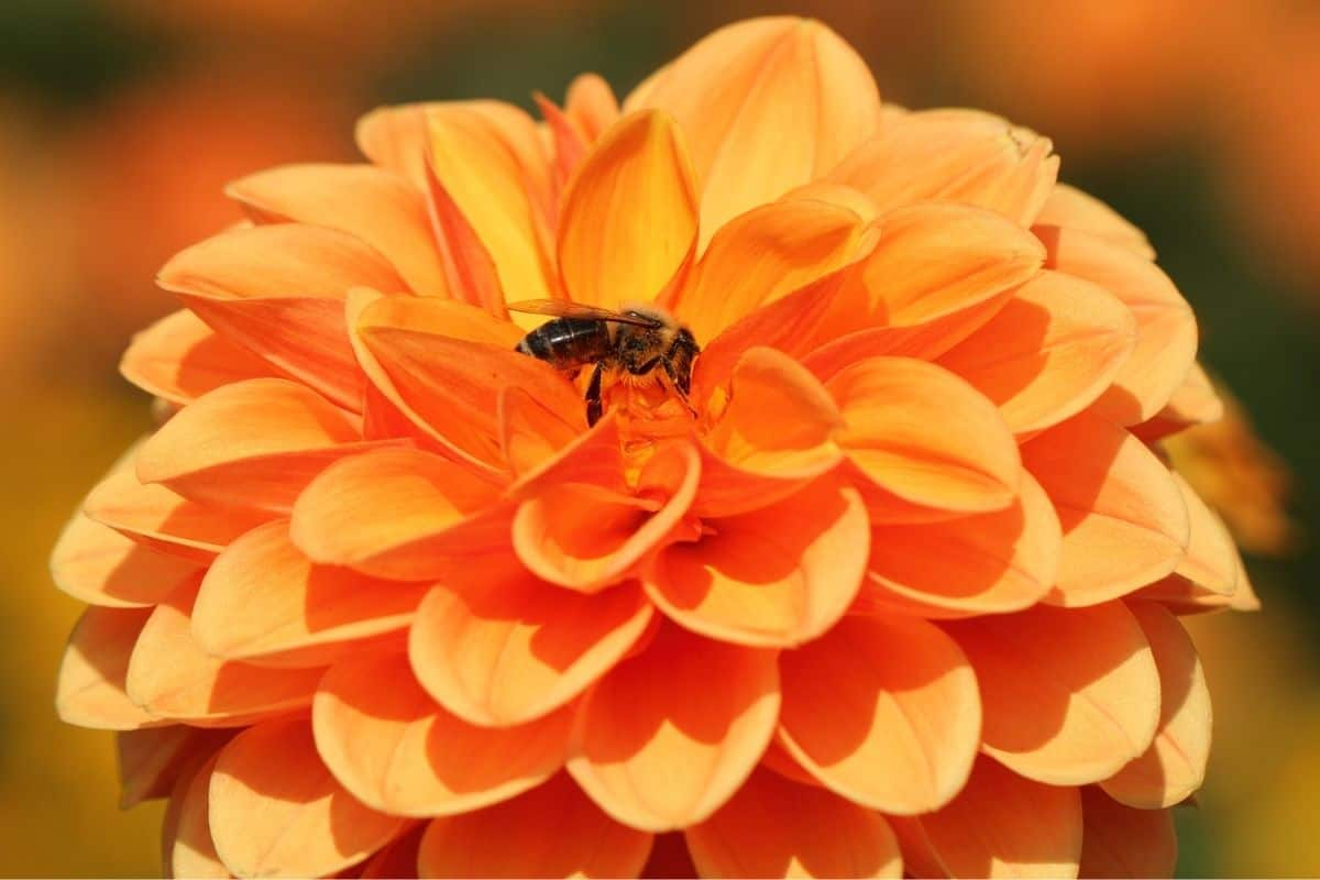 a tiny bee almost lost in a big dahlia flower