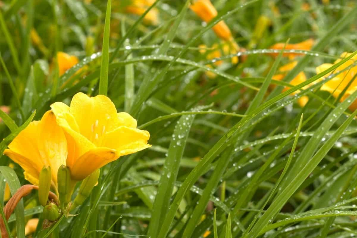everbloming daylilies