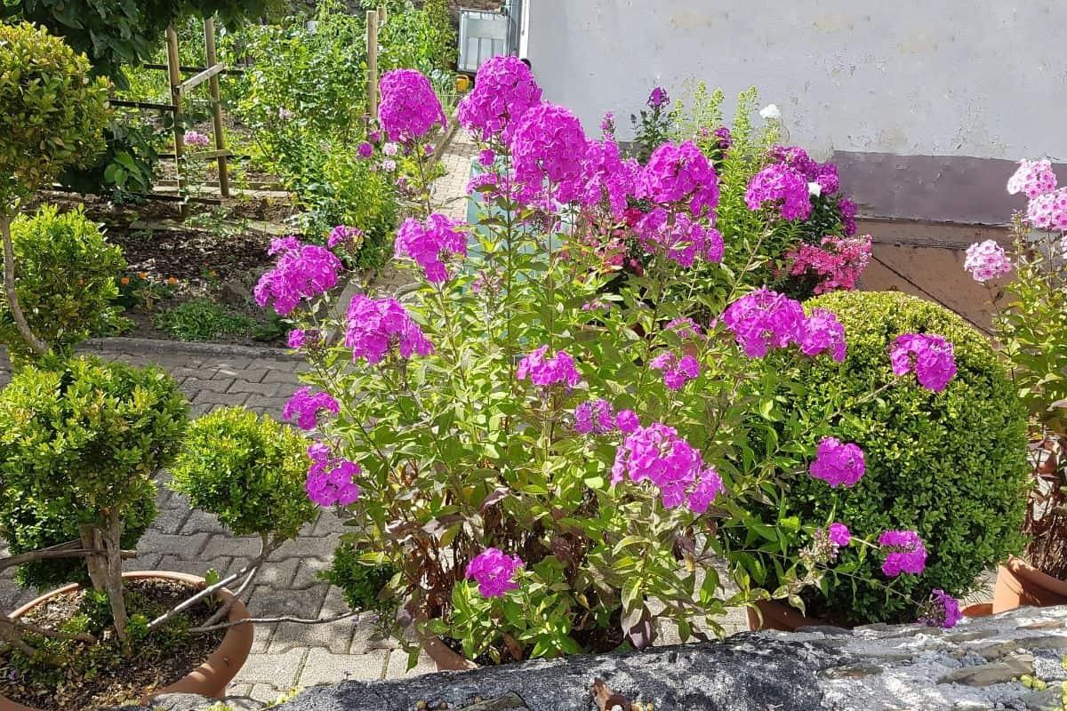 garden phlox flowers
