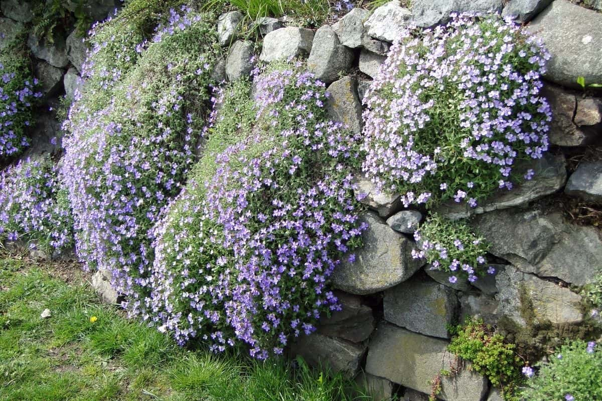 garden rock wall covered by purple flowers