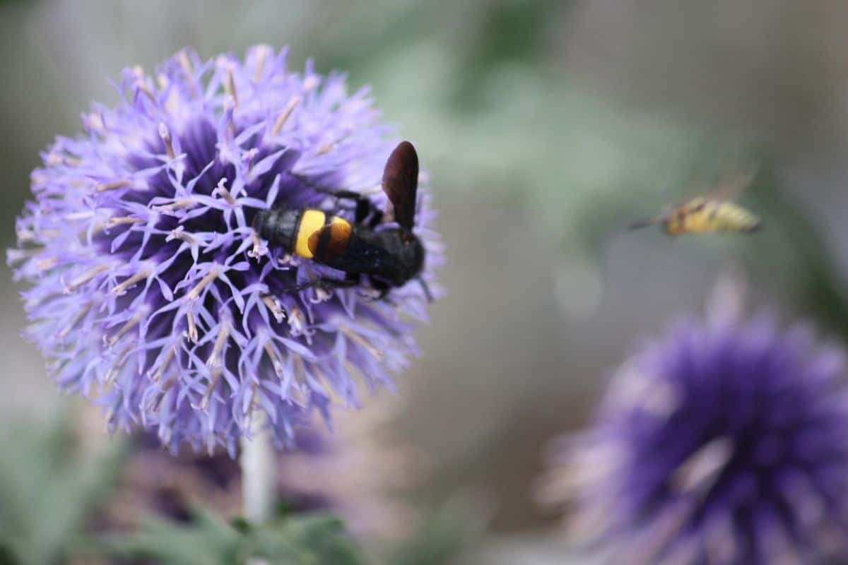 bee drinking from a globe thistle
