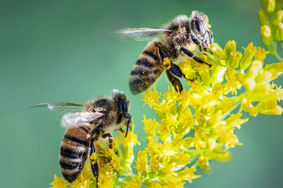 two bees drinking from goldenrod flowers