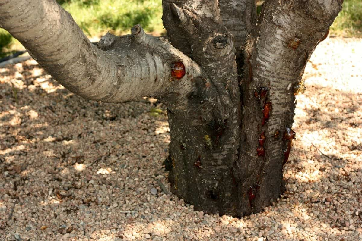 gravel around tree roots