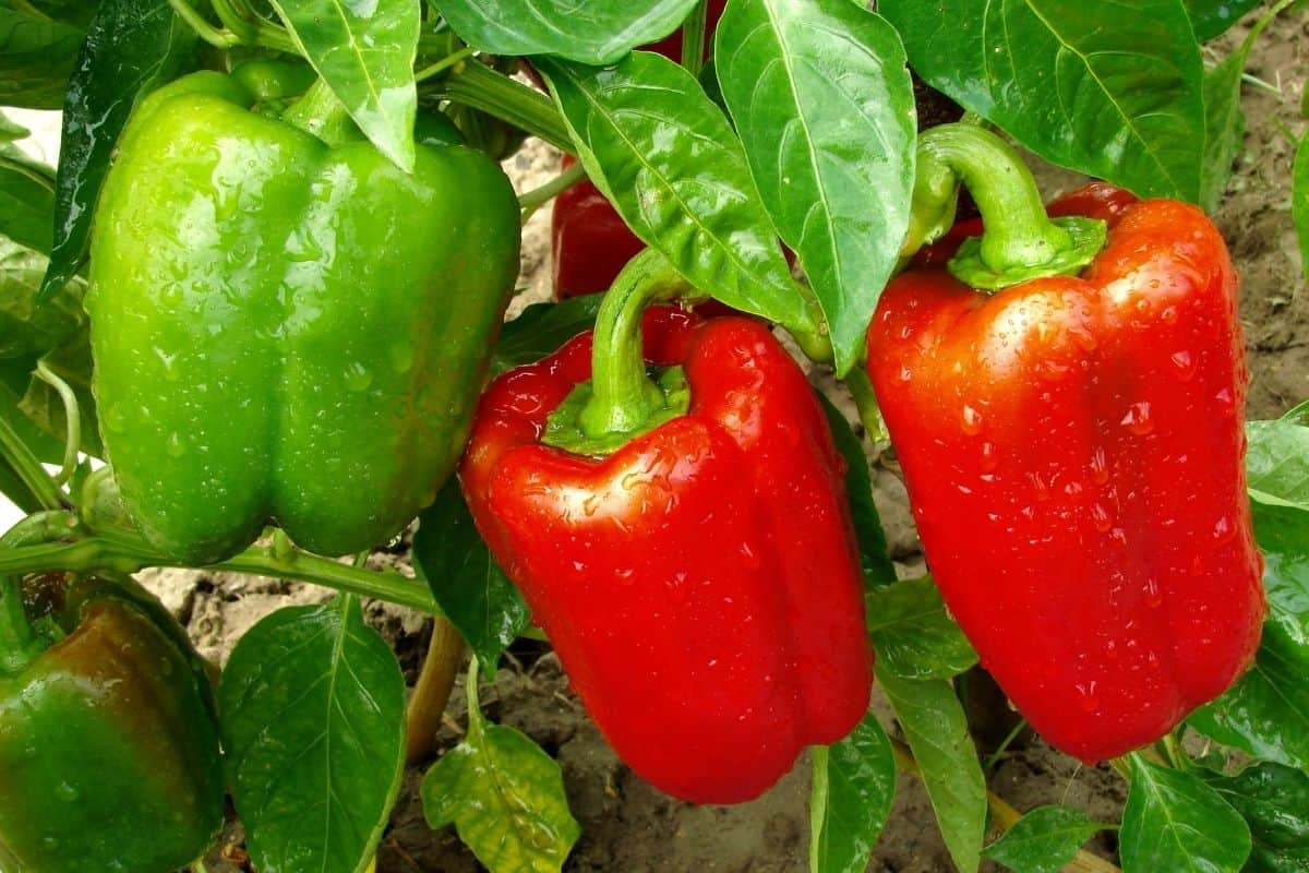 pepper plant with green and red peppers