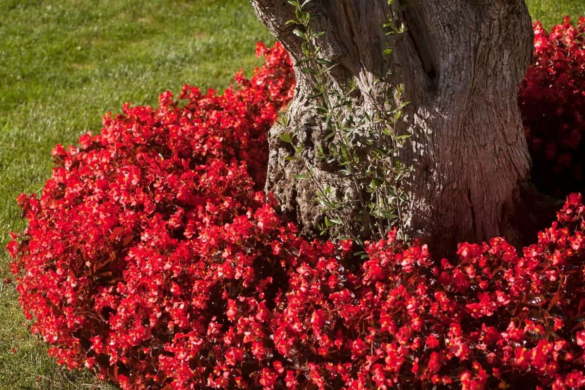 red groundcover around tree base