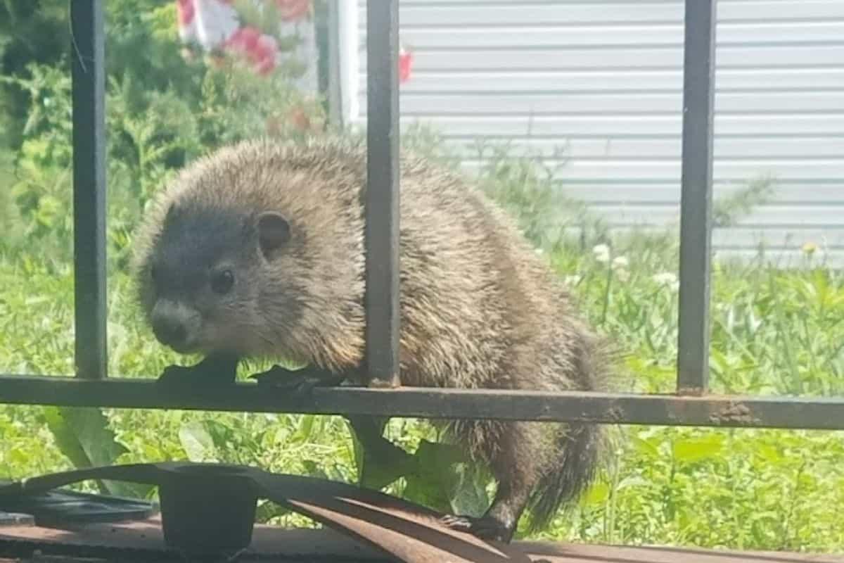 groundhog in my garden