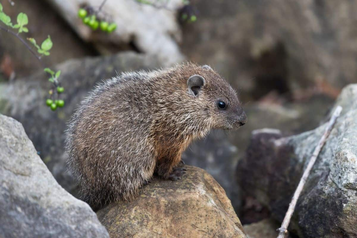 groundhog sitting on a rock