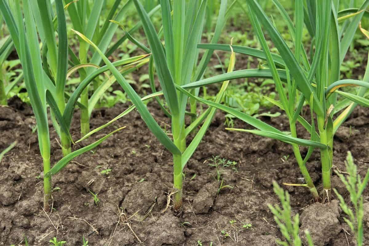 rows of green garlic in the garden