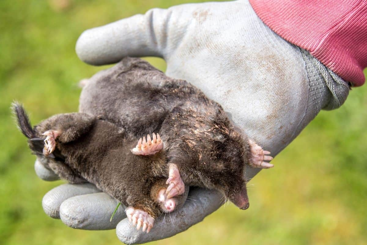gloved hand holding two moles