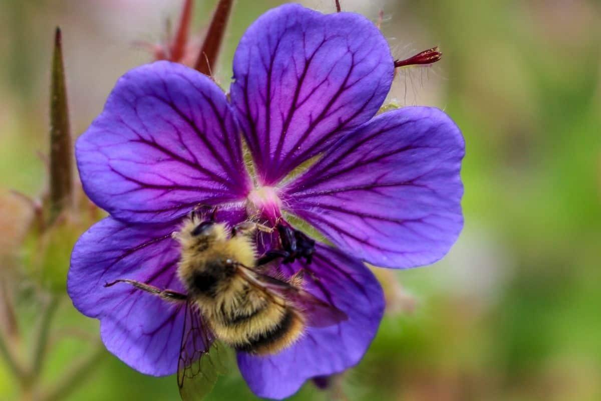 beautiful purple hardy geranium flower and bee